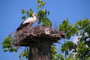 Storks' nest